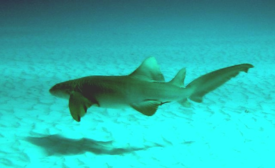 nurse shark cozumel